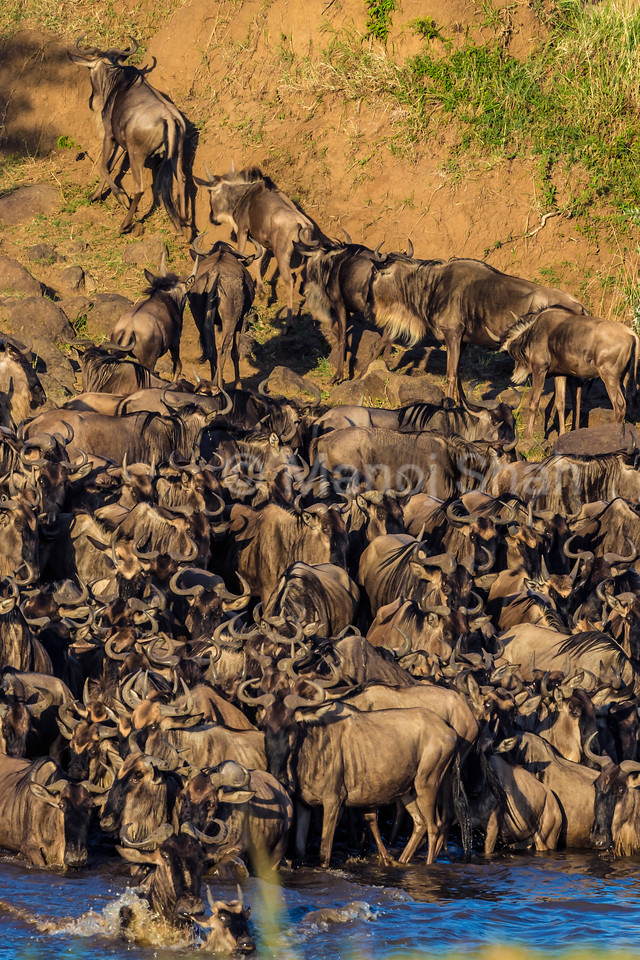 Wildebeest crossing early morning