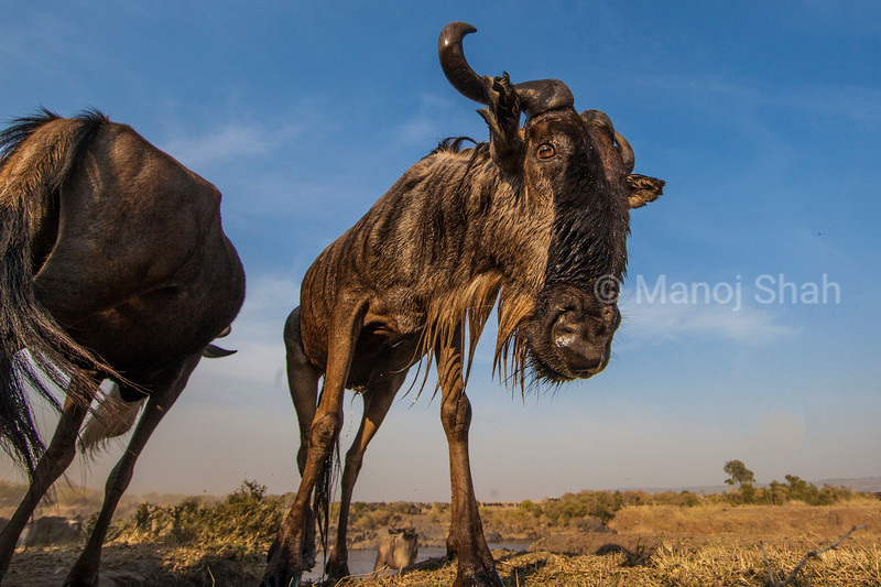 Wildbeest at river crossing