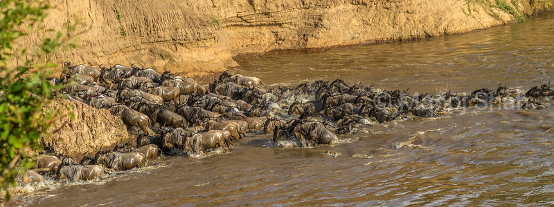 Wildebeet migrating across Mara River in Masai Mara