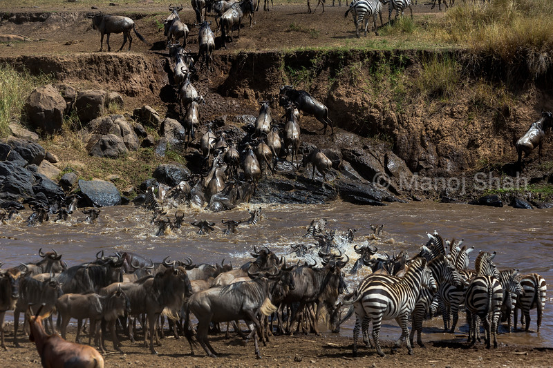 Zebra, Wildebeest and Topi crossing Mara River,