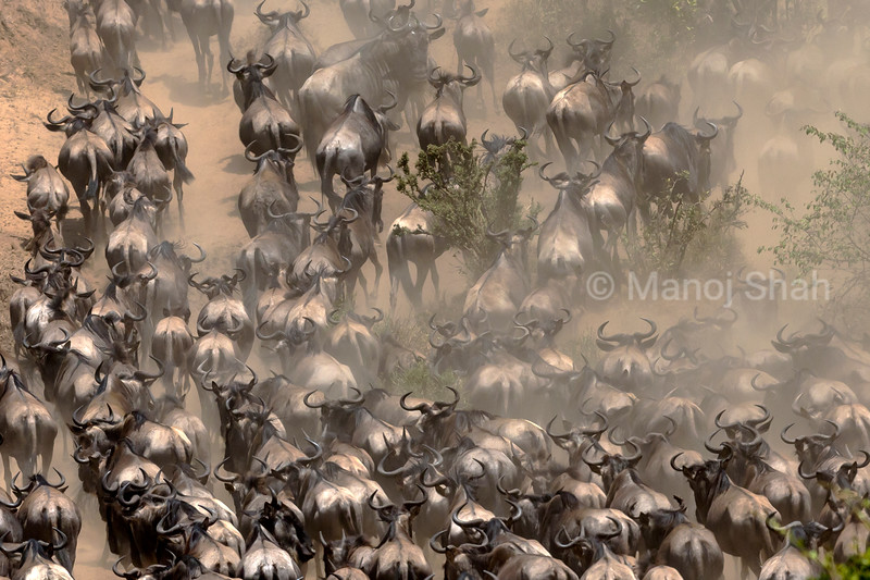 Wildebeest on the move to Mara River for crossing.