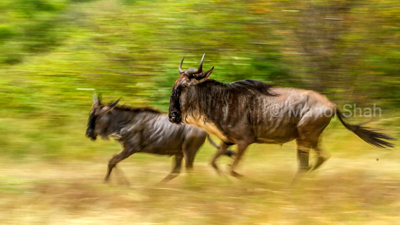 Wildebeest mother and baby running to Mara River in Masai Mara.