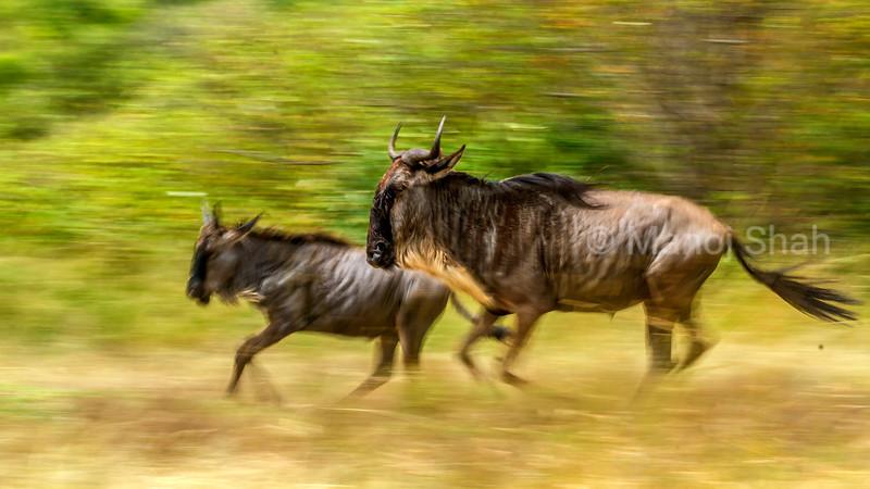 Wildebeest mother and baby running to Mara River in Masai Mara.