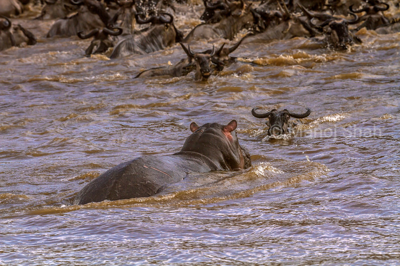 Hippo swims to a wildebeest crossing the Mara River in Masai Mara during the migration.