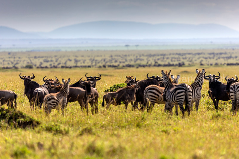Wildebeest and zebra watching partly hidden lioness behind a bush.