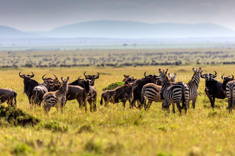 Wildebeest and zebra watching partly hidden lioness behind a bush.