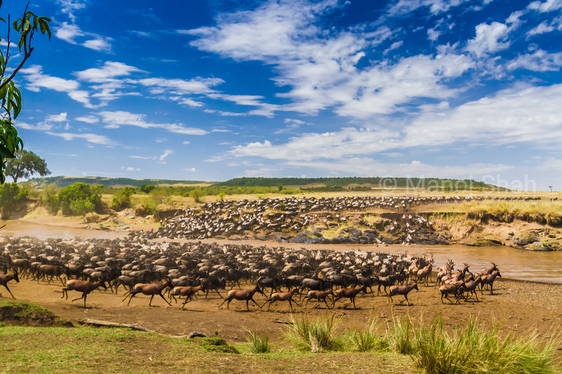 Wildebeest and Topis crossing the Mara River