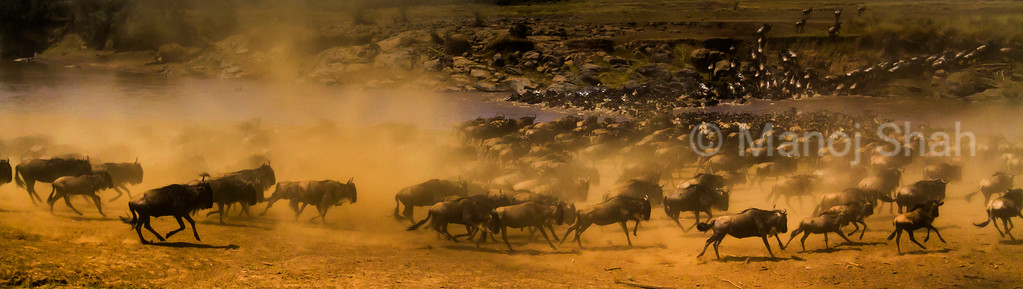 Wildebeests stirring up dust as they sun to cross the river.