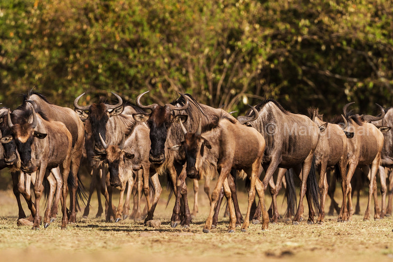 Wildebeest herd walking in the direction of Mara River.