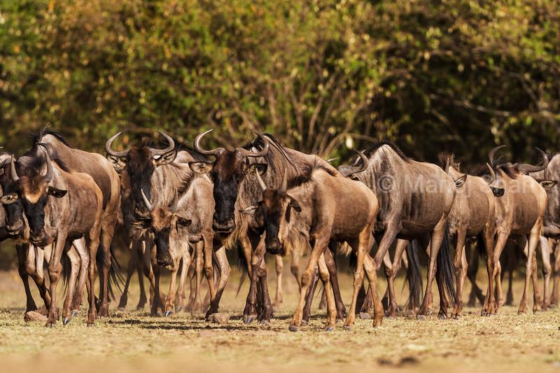 Wildebeest herd walking in the direction of Mara River.