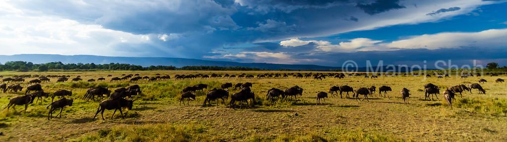 Wildebeest herd grazing in Masai Mara plains