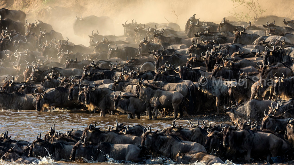 Wildebeest herd crossing Mara River on a hot and dusty day.
