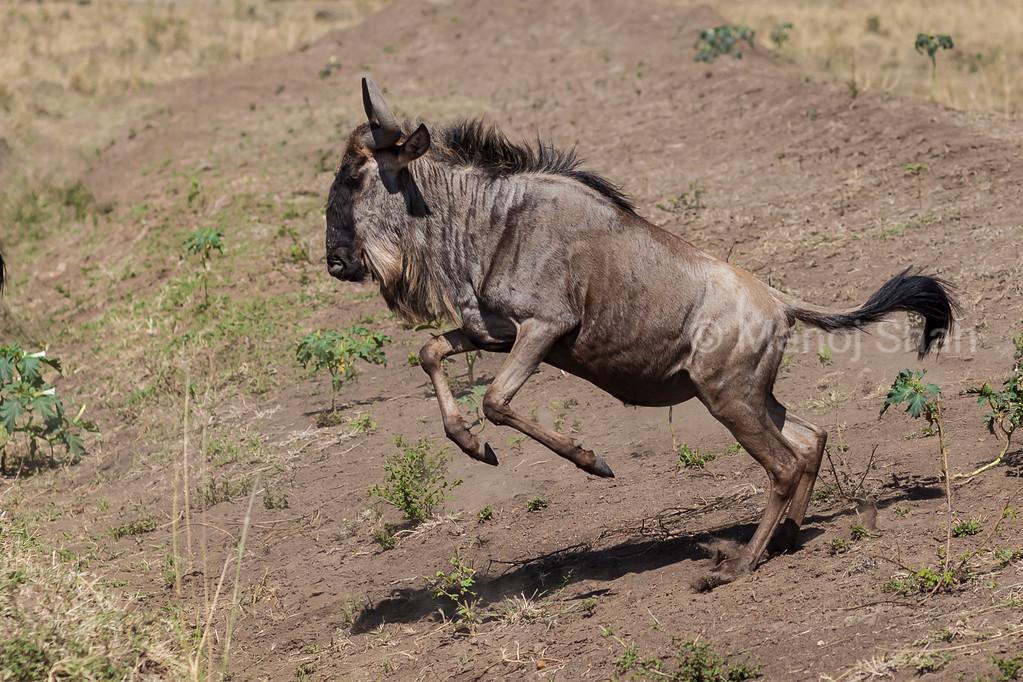 Wildebeest jumping.