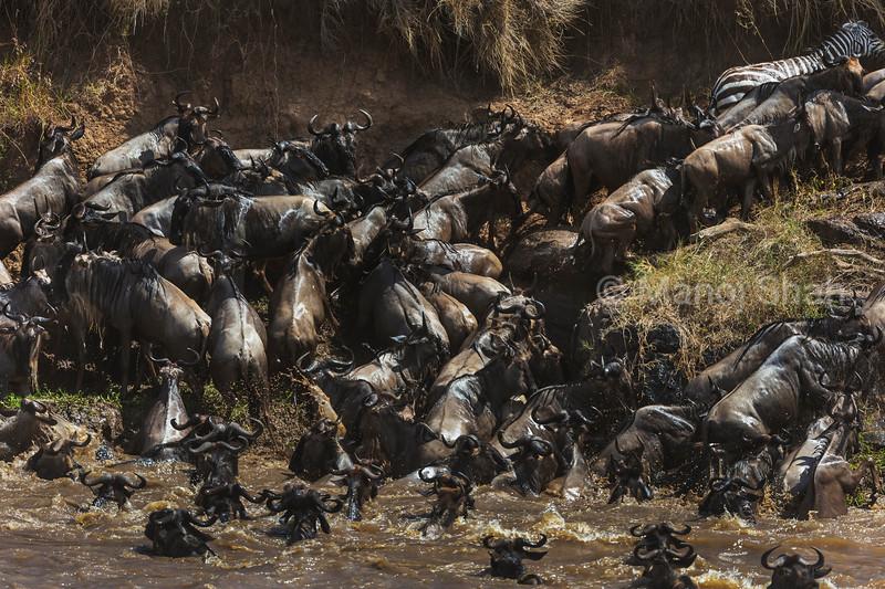 Zebra and Wildebeest crossing the Mara River.