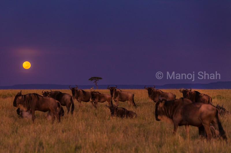 Wildebeest grazing in moonlight