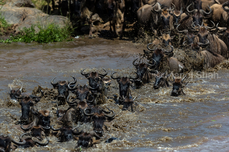 Wildebeest hurriedly crossing Mara River.
