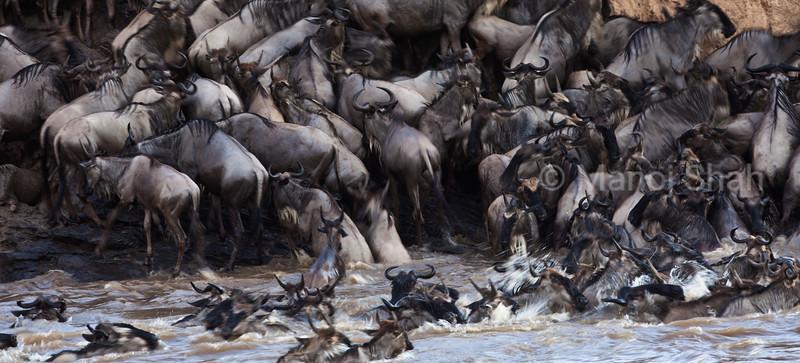 Wildebeest crossing the river