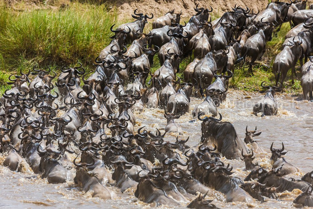 A herd of 2000 (approx) wildebeest crossed the Mara River.
