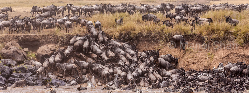 wildebeest trying to climb out of the river bank of Mara River in Masai Mara.