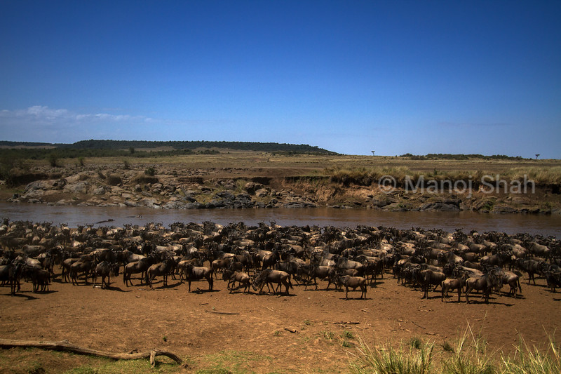 Wildebeest gather at Mara River crossing point with a view to cross to the other side.