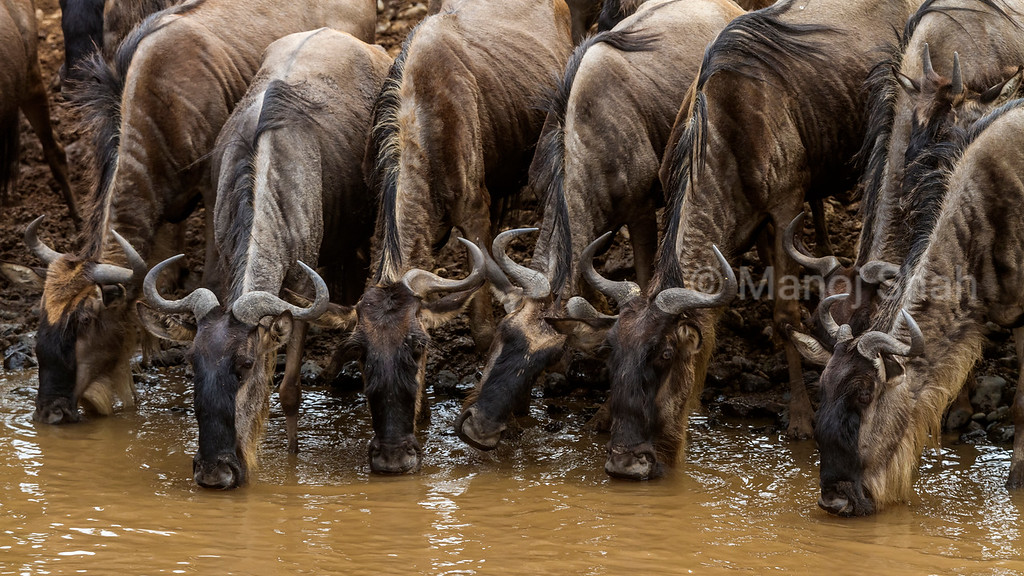 Wildebeest drinking water from Mara River.
