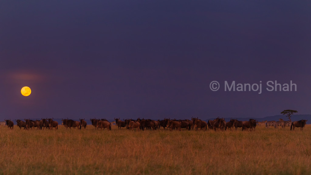 Wildebeest grazing in monlight