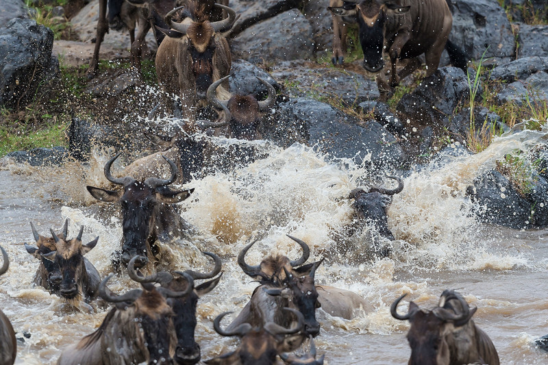 Wildebeest quickly crossing Mara River with lots of water splashes.