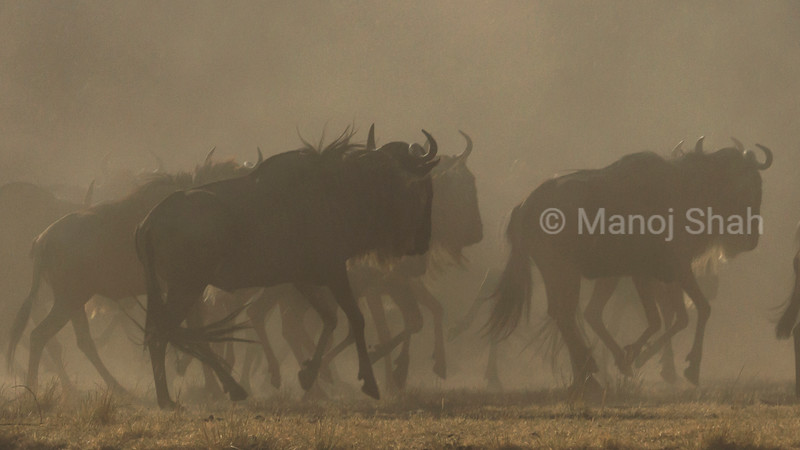 Wildebeest herd heading for the Mara River crossing point.