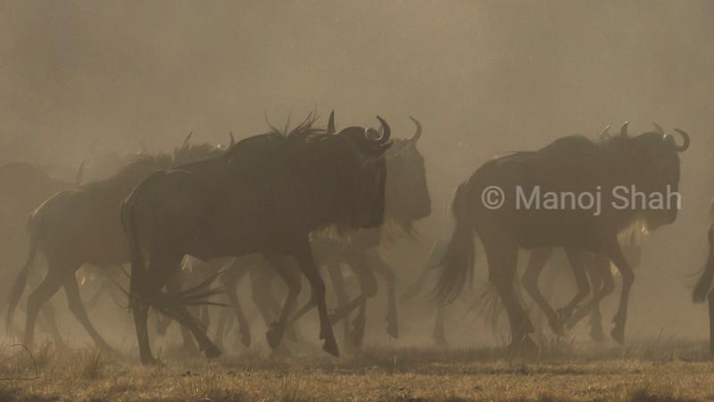 Wildebeest herd heading for the Mara River crossing point.