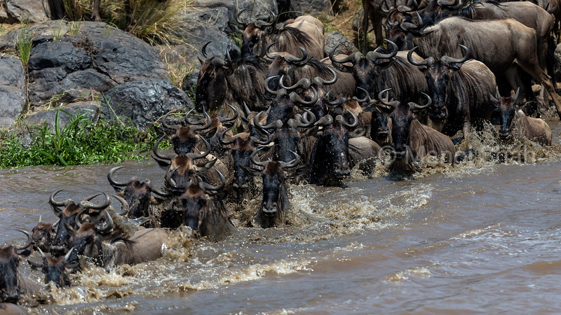 Wildebeest hurriedly crossing Mara River.