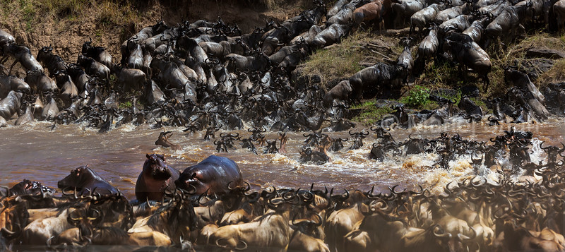 Topi and Wildebeest cross Mara River, avoiding contact with the angry hippos.