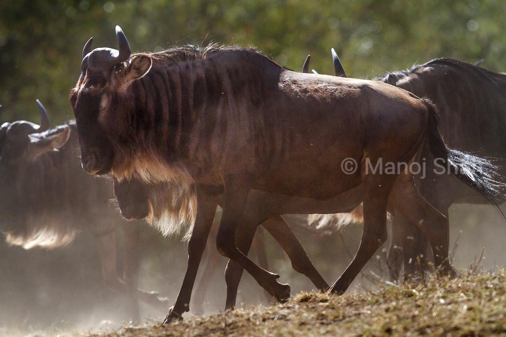 Wildebeest migration crossing at Mara River.