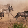 Wildebeest and Zebra run to cross the Mara River, drawing a lot of dust.