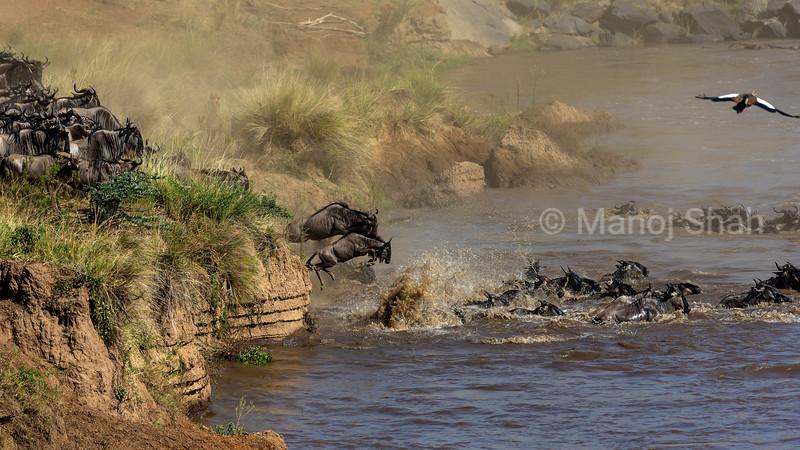 Migrating Wildebeest crossing Mara River.