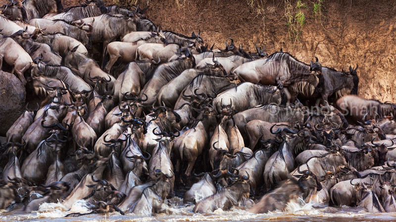 Wildebeest gettng out of the Mara River at the crossing.