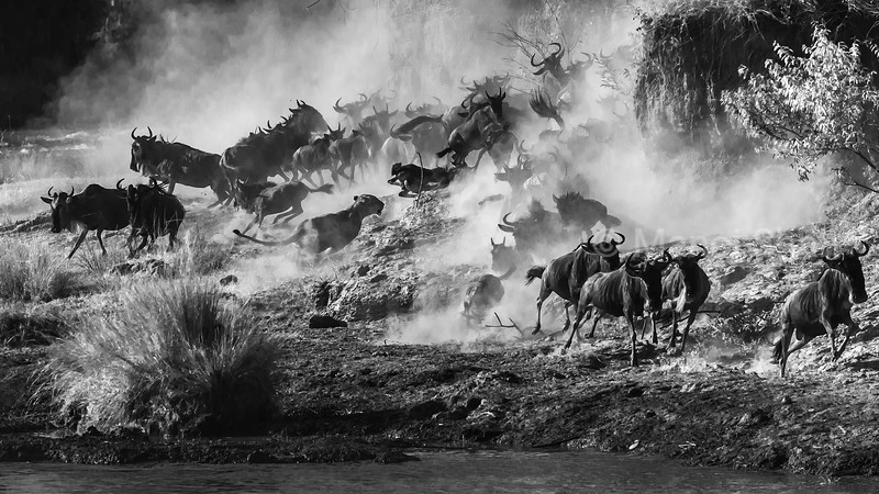 Lioness on the dusty hunt in the crossing point on Mara river in Masai Mara/