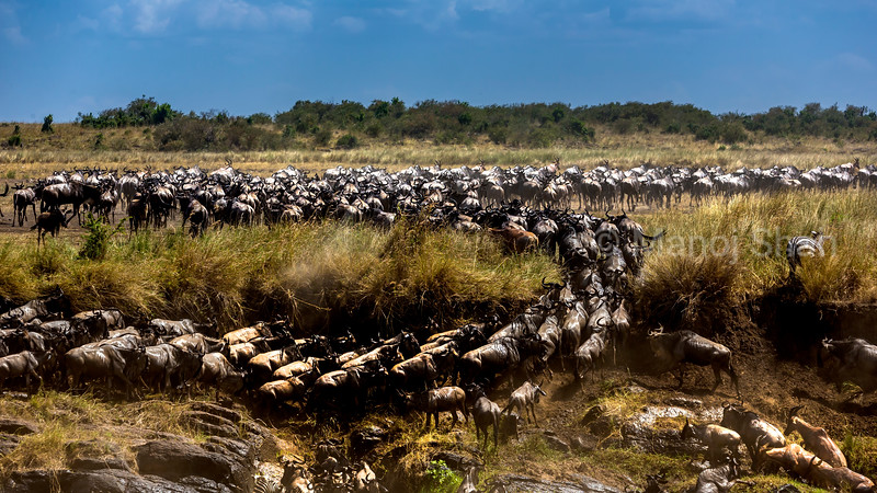 Wildebeest and Zebras have crossed Mara River and are heading towards Serengeti.