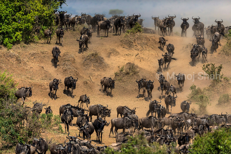 Wildebeest migrating downwards to the Mara River bank