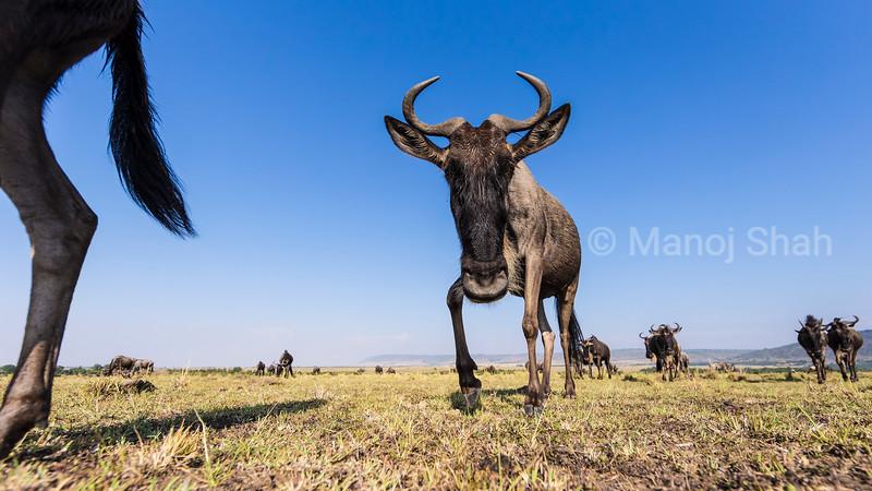 Wildebeest on Mara Plains.