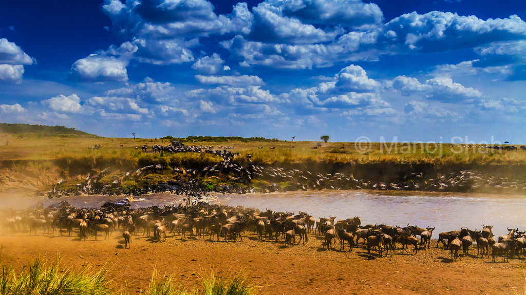 Wildebeest crossing the Mara River