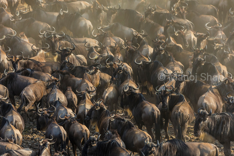 Wildebeest herd at the crossing