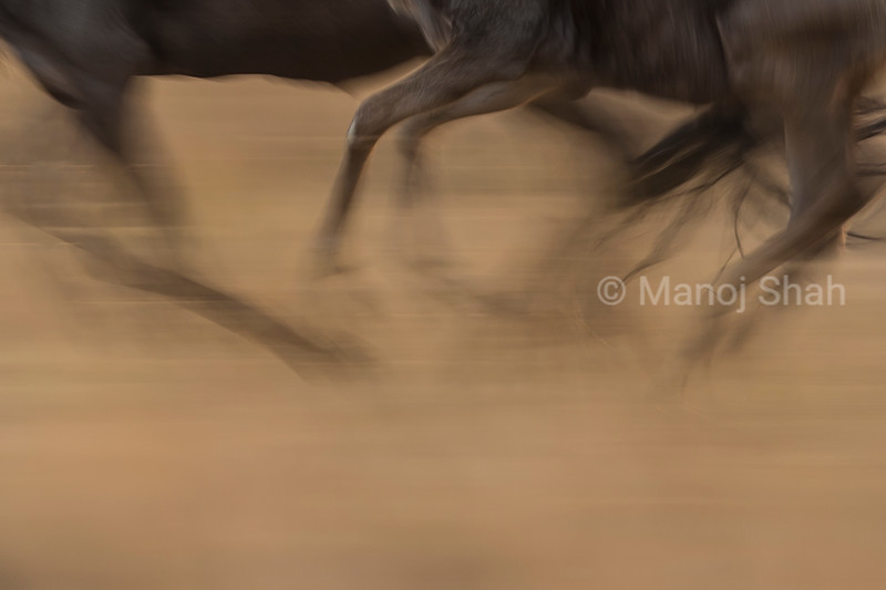 Wildebeest running feet shown