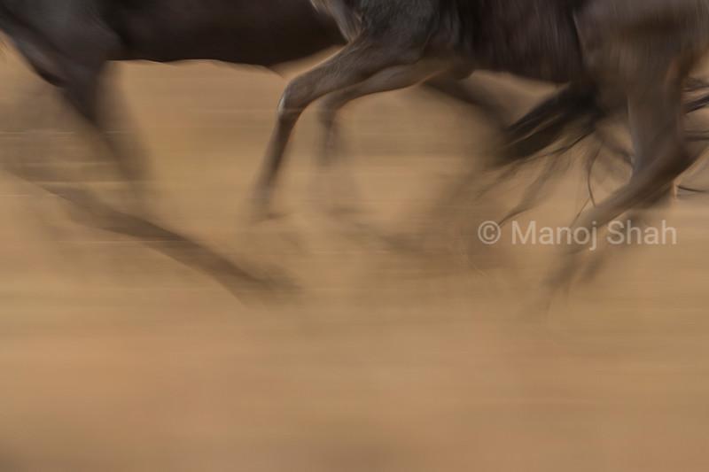 Wildebeest running feet shown