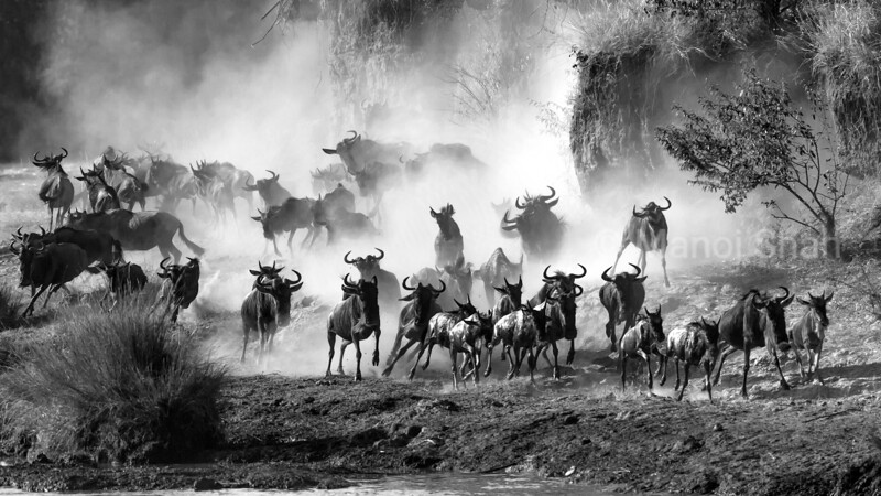 Wildebeest searching point for crossing Mara River.