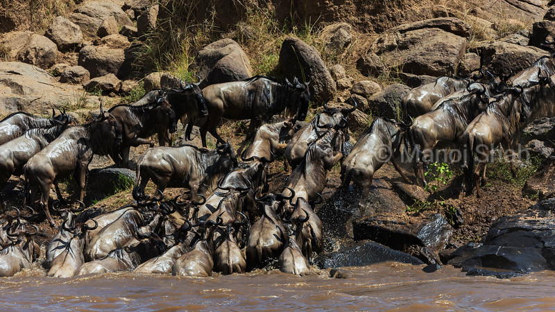 wildebeest crossing Mara River.