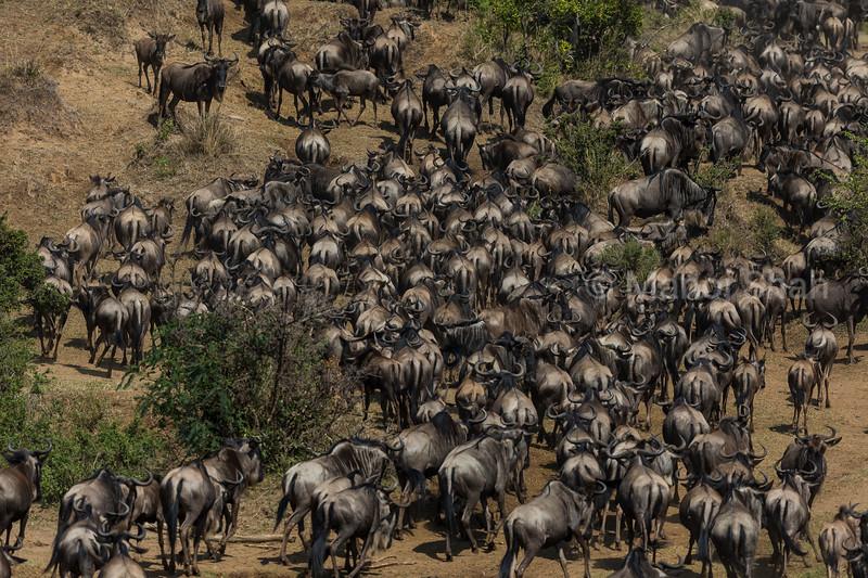 Wildebeest herd heading to cross Mara River.