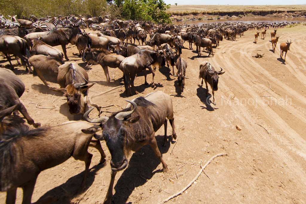 Wildebeest and zebra and topi  herds at the Mara River