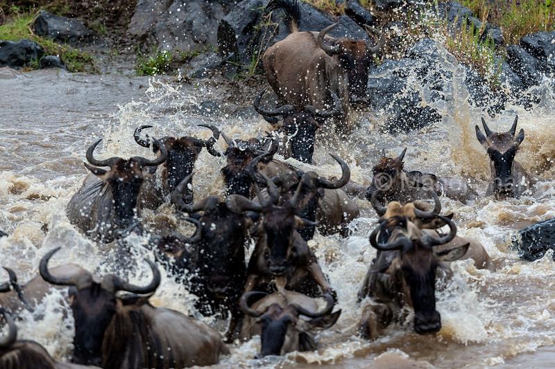 Wildebeest quickly crossing Mara River.