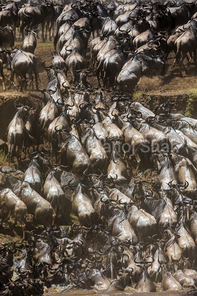 Wildebeest climbimg opposite bank