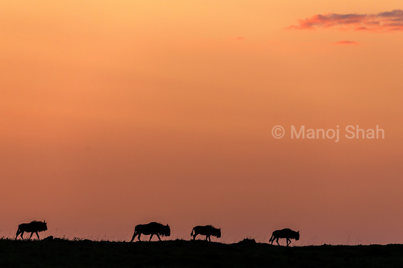 Wildebeest migration at sunrise in Mara